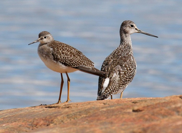 2yellowlegs