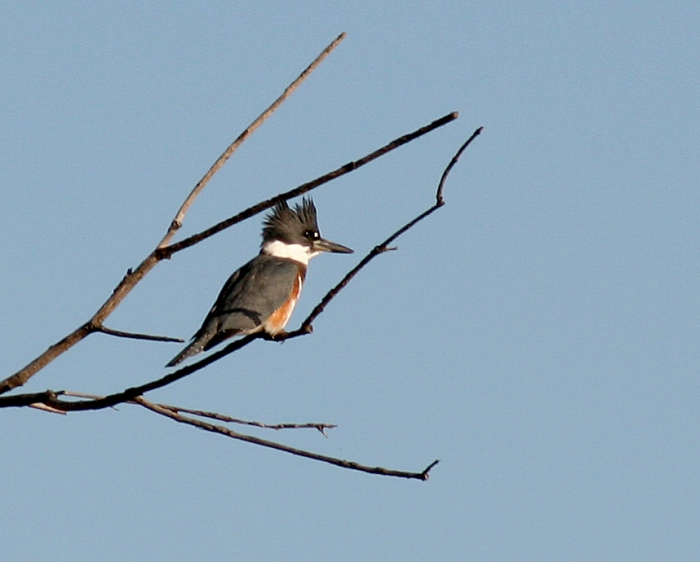 belted-kingfisher-1-10-2
